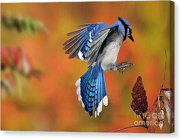 Blue Jay Canvas Print by Scott Linstead