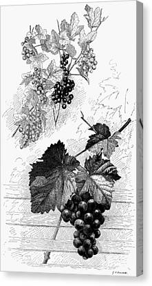 Botany Grapes Canvas Print
