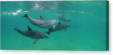 Bottle-nosed Dolphin Tursiops Truncatus Canvas Print