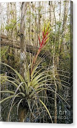 Bromeliad Tillandsia Fasciculata Canvas Print by Bob Gibbons