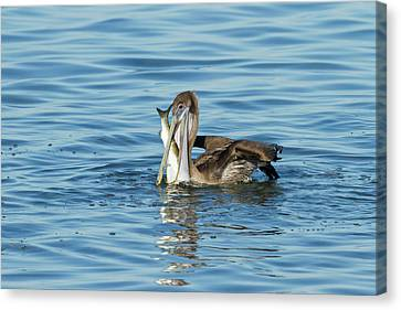 Brown Pelican (pelecanus Occidentalis Canvas Print by Larry Ditto