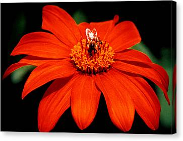 Busy Bee  Canvas Print by J D Owen
