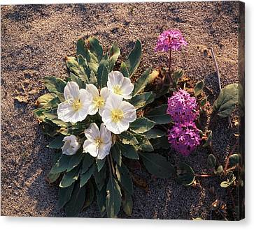California, Anza Borrego Desert State Canvas Print by Christopher Talbot Frank