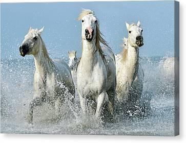 Camargue Horses Canvas Print by Dr P. Marazzi