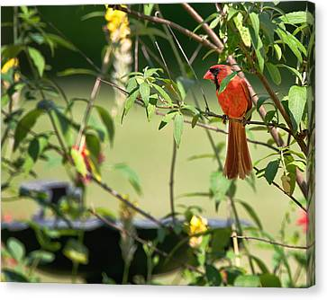 Cardinal Canvas Print - Cardinal by Bill Wakeley