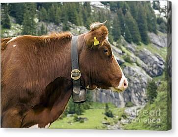 Wengen Canvas Print - Cattle, Switzerland by Bob Gibbons