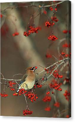 Cedar Waxwing (bombycilla Cedrorum Canvas Print by Richard and Susan Day