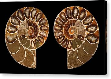 Ceratites Ammonite Fossil Canvas Print by Lawrence Lawry