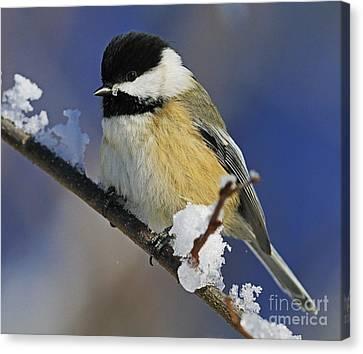 Winter Chickadee... Canvas Print by Nina Stavlund
