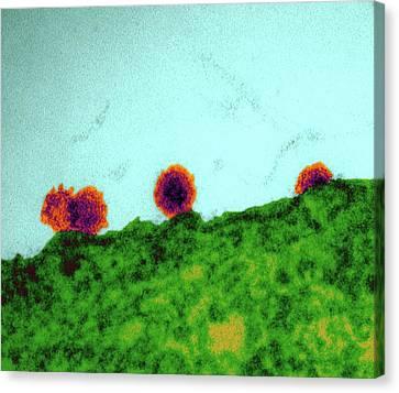 Transmission Canvas Print - Chikungunya Virus Particles Budding by Dr Klaus Boller