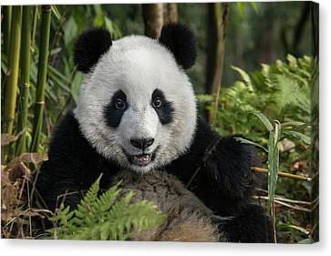 China, Chengdu, Chengdu Panda Base Canvas Print