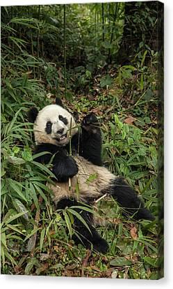 China, Chengdu Panda Base Canvas Print