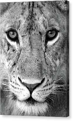 Lioness Canvas Print - Close-up Of A Lioness Panthera Leo by Panoramic Images