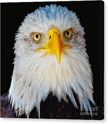 Closeup Portrait Of An American Bald Eagle Canvas Print
