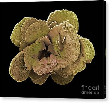 Coccoliths, Sem Canvas Print