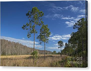Corkscrew Swamp Canvas Print