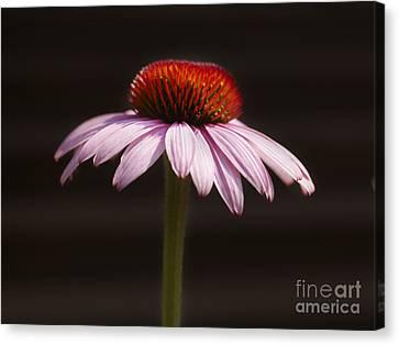 Genus Canvas Print - Cornflower by Tony Cordoza