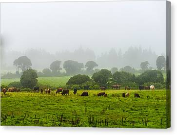 Cows At Rest Canvas Print