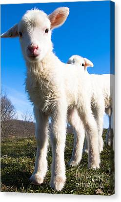 Curious Day-old Lambs Canvas Print by Thomas R Fletcher