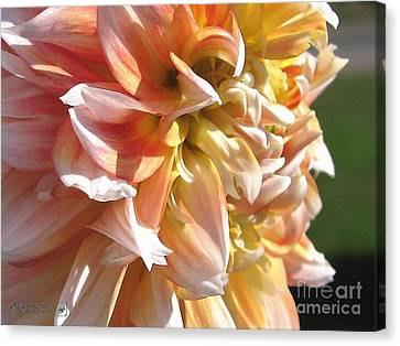 Dahlia Named Peaches-n-cream Canvas Print by J McCombie