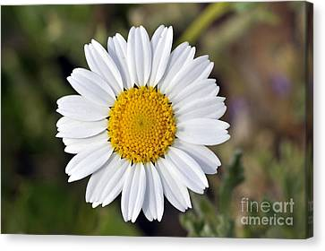 Daisy Flower Canvas Print by George Atsametakis