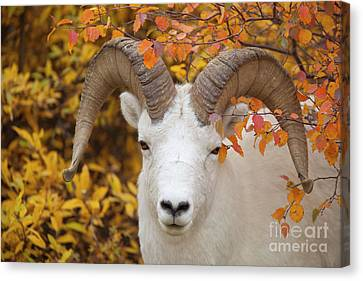 Dalls Sheep Ram In Denali Canvas Print