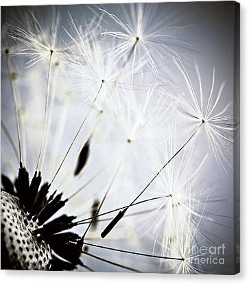 Dandelion Canvas Print by Elena Elisseeva
