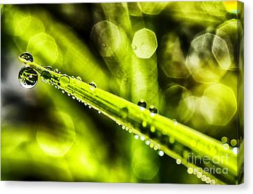 Dew On Grass Canvas Print by Thomas R Fletcher