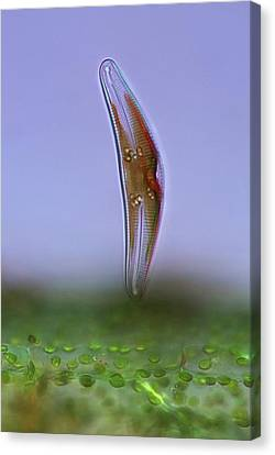 Diatom, Light Micrograph Canvas Print by Science Photo Library