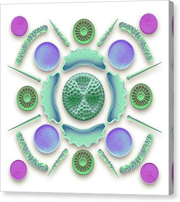 Phytoplankton Canvas Print - Diatoms And Sponge Spicules by Steve Gschmeissner