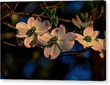 Canvas Print featuring the photograph 3 Dogwoods On A Branch by John Harding