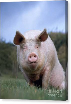 Domestic Pig Canvas Print by Hans Reinhard
