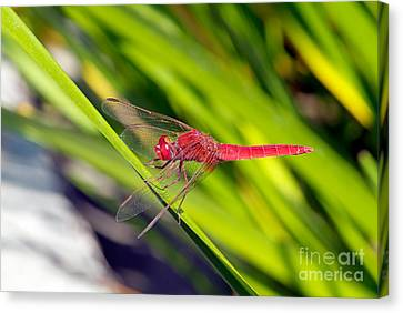 Insects Canvas Print - Dragonfly by George Atsametakis