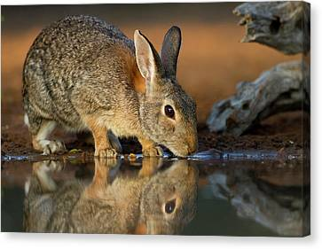 Eastern Cottontail (sylvilagus Canvas Print by Larry Ditto