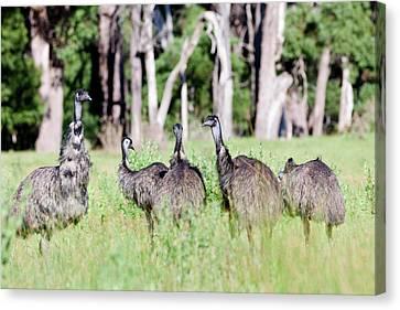 Emu (dromaius Novaehollandiae Canvas Print by Martin Zwick