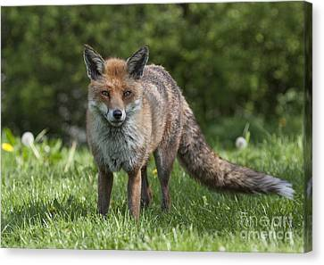 English Red Fox Canvas Print by Philip Pound