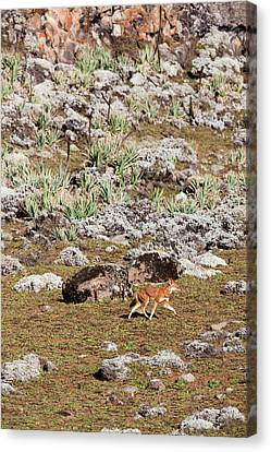 Ethiopian Wolf (canis Simensis Canvas Print by Martin Zwick