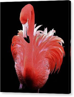Flamingo Canvas Print by Paulette Thomas