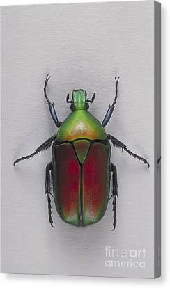Flower Beetle Canvas Print by Barbara Strnadova