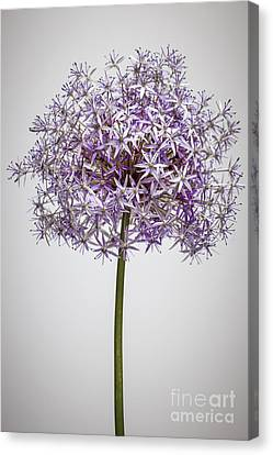 Flowering Onion Flower Canvas Print by Elena Elisseeva
