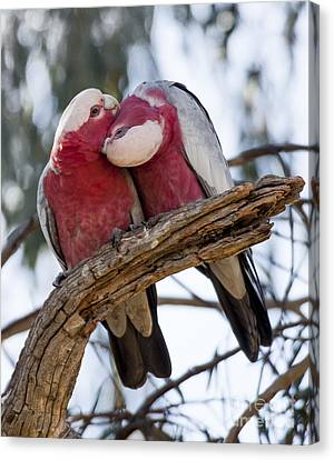 Galahs Canvas Print by Steven Ralser