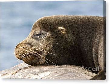 Galapagos Sea Lion Canvas Print by William H. Mullins