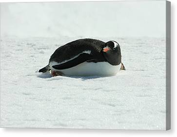 Gentoo Penguin Canvas Print by Amanda Stadther