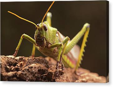 Giant Grasshopper Canvas Print