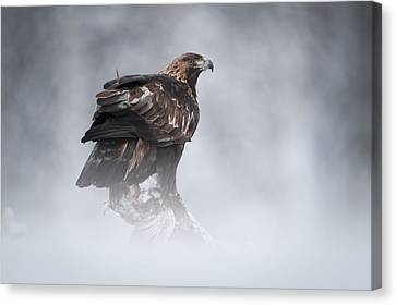 Golden Eagle Canvas Print by Andy Astbury