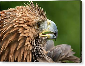 Golden Eagle Canvas Print by Linda Wright