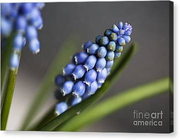 Grape Hyacinth Canvas Print by Nailia Schwarz