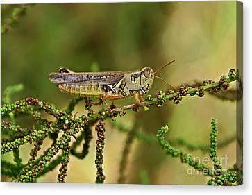 Canvas Print featuring the photograph Grasshopper by Olga Hamilton
