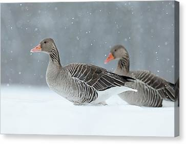 Graylag Goose (anser Anser Canvas Print by Martin Zwick