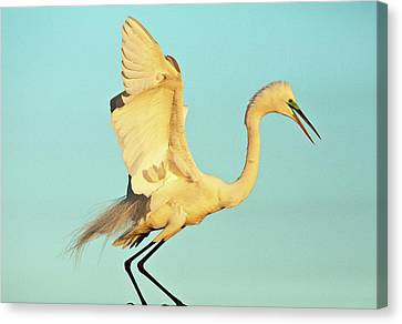 Great Egret Canvas Print by Bob Gibbons